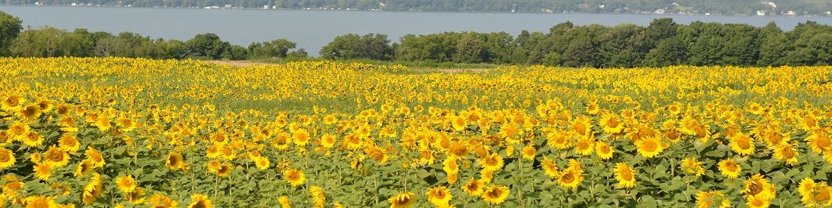 Sunflower Field Overlooking Cayuga Lake by Jamie Bailey INT